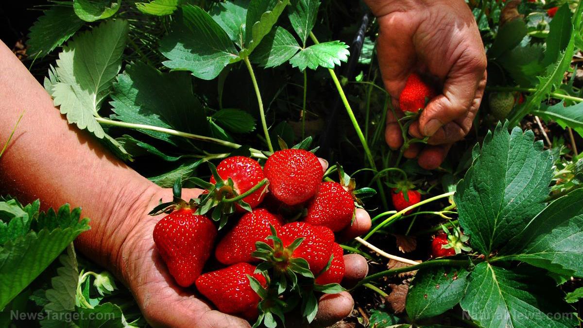 Pick Strawberry Fruit Farmer Plant Farm Season
